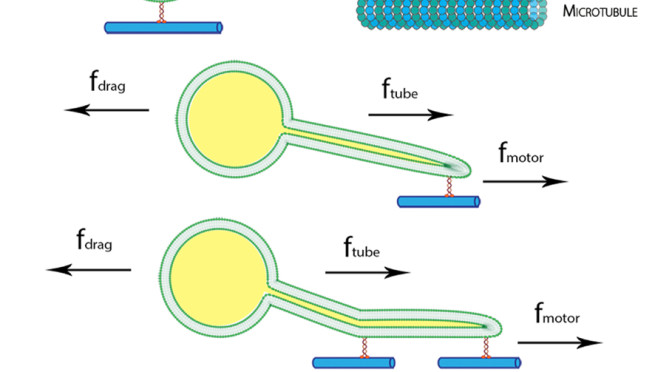 Using molecular motors to extract lipid tubules